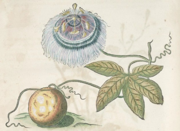 "Albert Eckhout (?), 'Passion fruit' in ""Historia naturalis Brasiliae…,"" by Willem Piso and Georg Margraf, 1648"