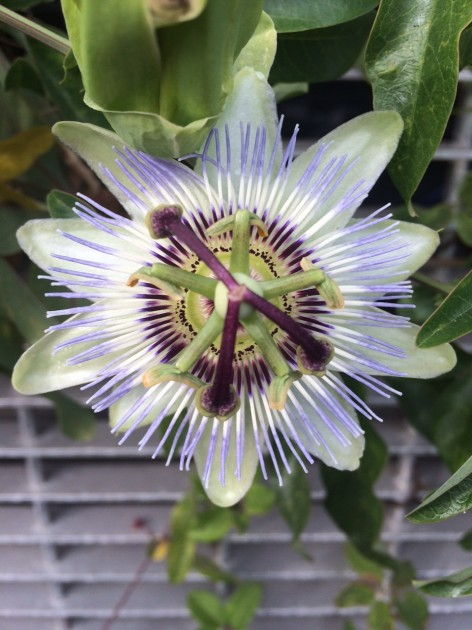 A passionflower